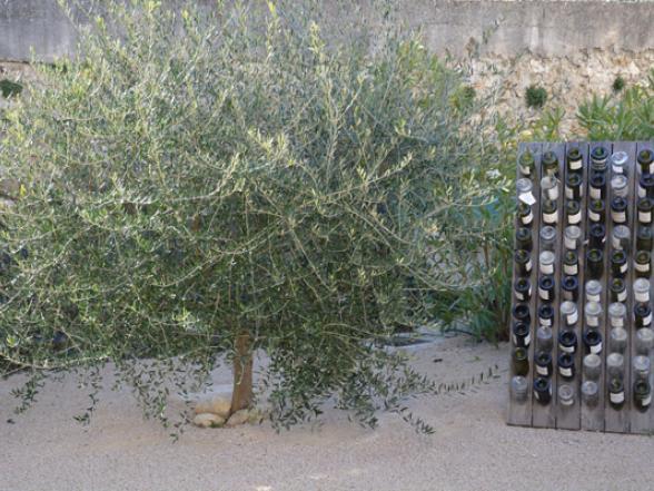 olijfboom in het tuintje